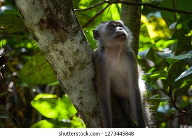 Long-tailed macaque or crab-eating macaque foraging for food, scientific name Macaca fascicularis