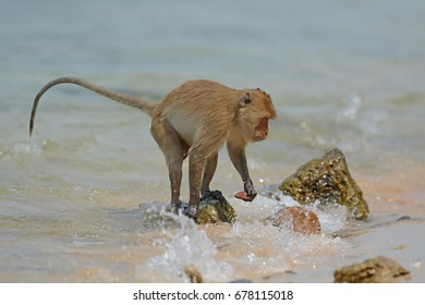 Long-tailed macaque, Crab-eating macaque (Macaca fascicularis) on the colum Island in prachuap khiri khan, Thailand