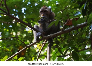 Long-tailed macaque or Crab-eating Monkey apes