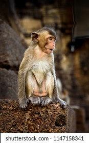 Long-tailed macaque or crab-eating macaque sitting on the laterite or red-rock wall