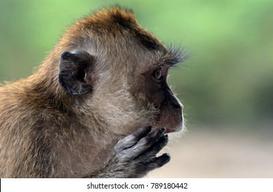 Long-tailed macaque, Langkawi, Malaysia