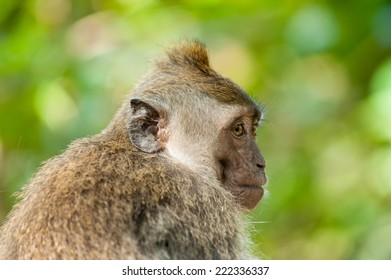 A long-tailed macaque, looking anxious and suspicious; Ubud, Bali.
