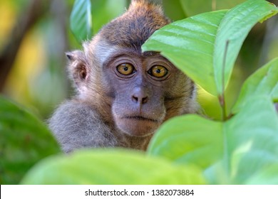 Long-tailed macaque looking at the camera