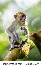 Long-tailed Macaque - Macaca fascicularis, common monkey from Southeast Asia forests, woodlands and gardens, Bali, Indonesia.