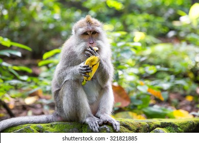Long-tailed macaque (Macaca fascicularis) eating a banana in Sacred Monkey Forest, Ubud, Indonesia