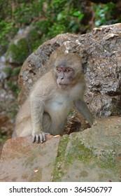 Long-tailed Macaque ( Macaca fascicularis)buddha-cave,Thailand, Asia