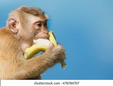 Long-tailed Macaque Monkey eat banana