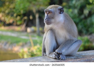 Long-tailed Macaque monkey rest in the evening