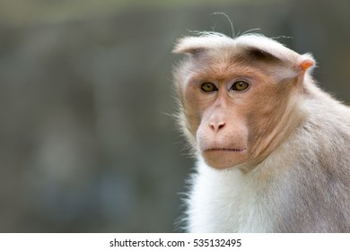 A long-tailed macaque portrait with a very detailed face and a blurred background