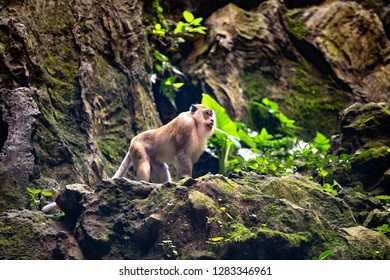 Long-tailed Macaques  inside the cave at the famous tourist attraction Batu Caves, near Kuala Lumpur, Malaysia