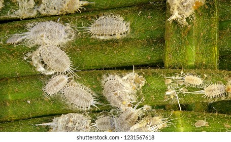 Long-tailed mealybug, Pseudococcus longispinus (Hemiptera: Pseudococcidae) is the dangerous pest of different plants, including economically important tropical fruit trees and ornamental plants