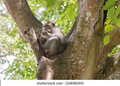Long-Tailed Monkey Eating a Sweet Potato in the Sacred Monkey Forest in Ubud, Bali, Indonesia
