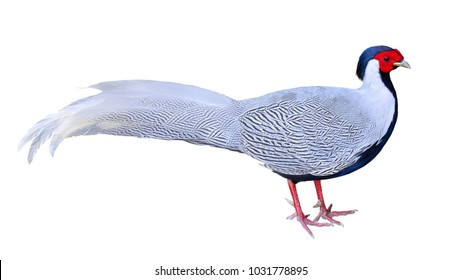 Long-tailed Pheasant Male Sex Silver pheasant white body red face isolated on white backround. This has clipping path.
