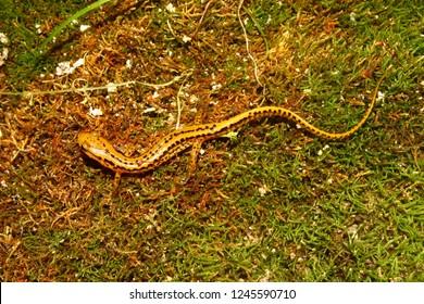 Long-tailed Salamander (Eurycea longicauda) in the southern USA