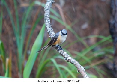 Long-tailed Shrike,Birds of Thailand, Doi Sun Juh, Chiang Mai.