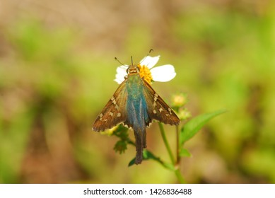 A long-tailed skipper butterfly feeds on a Spanish needle flower.