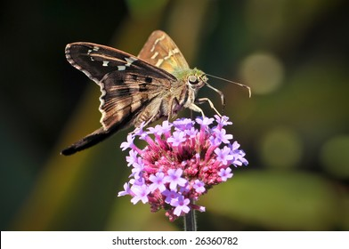 A longtailed skipper butterfly urbanus proteus insect sits on top of small pink flowers feeding in nature with its wings spread