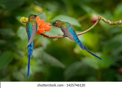 Long-tailed Sylph, Aglaiocercus kingi, rare hummingbird from Colombia, gree-blue bird flying next to beautiful orange flower, action feeding scene in tropical forest, two animal in the nature habitat.
