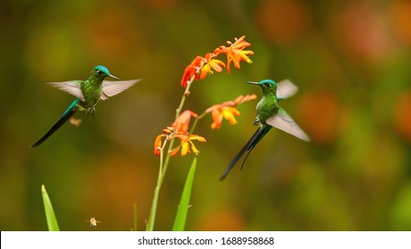 Long-tailed Sylph, Aglaiocercus kingii, two spectacular hummingbirds  hovering next to orange flowers against dark green cloud forest reserve background.  Ecuador, San Isidro.