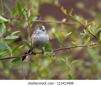 Long-Tailed Tit, (Aegithalos caudatus) on a thin branch surrounded by leaves.
