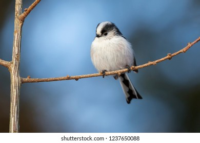 Long-tailed tit (Aegithalos caudatus) on a branch in the forest