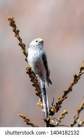 Long-tailed Tit (Aegithalos caudatus) perched on a nice bush. Cute songbird sitting on a beautiful perch. Czech Republic