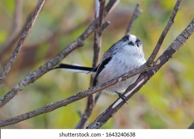 A Long-Tailed Tit (Aegithalos caudatus) perched on a tree branch.