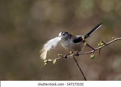 Long-tailed tit, Aegithalos caudatus, single bird collecting feathers for nest, Warwickshire, March 2012