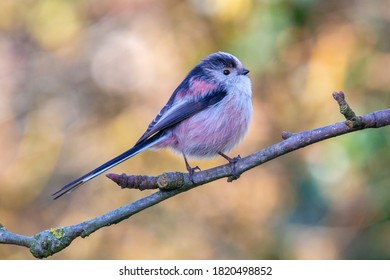 Long-tailed tit in apple tree against colorful background