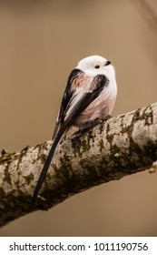 Long-tailed tit or long-tailed bushtit (Aegithalos caudatus) shows the tail while perching on an oak branch with a nice defocused background