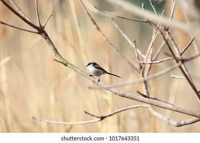 Long-tailed Tit or Long-tailed Bushtit (Aegithalos caudatus) in Japan