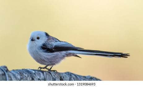 Long-tailed tit or long-tailed bushtit (Aegithalos caudatus) perching on an oak branch in profile showing the long tail with a defocused background