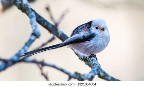 Long-tailed tit or long-tailed bushtit (Aegithalos caudatus) perching on an oak twig with a defocused background