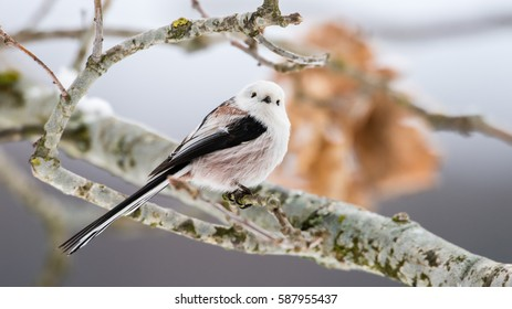 Long-tailed tit or long-tailed bush-tit (Aegithalos caudatus) is a common bird found throughout Europe and Asia. Perching in an oak-twig with a defocused  oak-leaves in the background