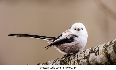 Long-tailed tit or long-tailed bushtit (Aegithalos caudatus) perching on an oak branch with a defocused background