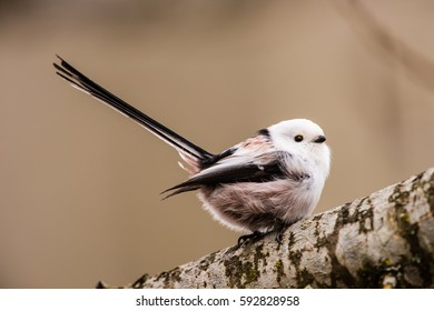 Long-tailed tit or long-tailed bushtit (Aegithalos caudatus) wag the tail while perching on an oak branch with a defocused background