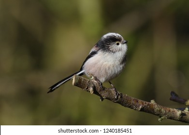 A long-tailed tit perched on a branch at Summer Leys Nature Reserve in Northamptonshire, England, UK.