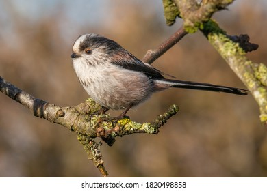 Long-tailed tit sitting on small branch in apple tree