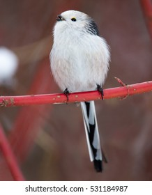 Long-tailed tit,Aegithalos caudatus. Vertical photo of white-headed subspecies perched on red twig against snowy background. Winter, Europe.