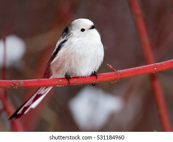 Long-tailed tit,Aegithalos caudatus. White-headed subspecies perched on red twig against snowy background. Winter, Europe.