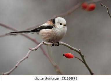 Long-tailed tit,Aegithalos caudatus. White-headed subspecies perched on rose bush twig against snowy background. Winter, Europe.