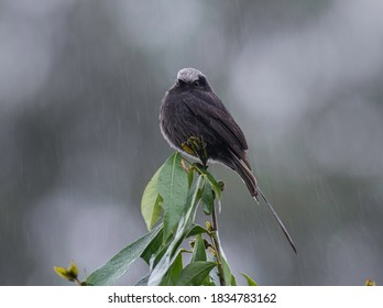 A Long-tailed Tyrant in the rain and observing me.