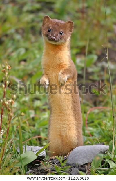 Long-tailed Weasel, cute little serial killer.