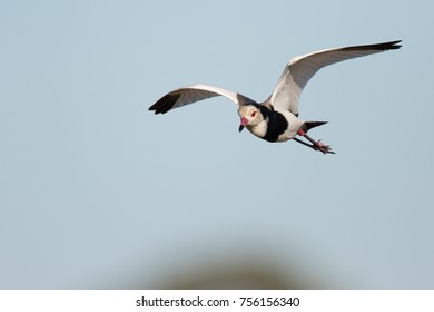 Long-toed plover bird in flight with clear blue sky in background, Africa