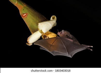 Long-tongued bat sucks nectar balsa blossom black background