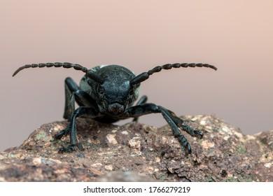 a lonhorn beetle - Dorcadion fuliginator