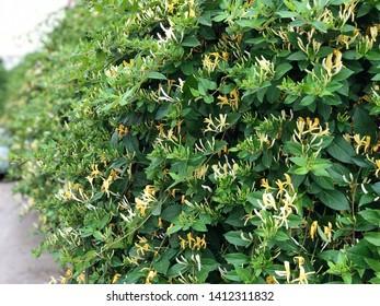 Lonicera Japonica Garden, Honeysuckle Flowers Garden,  Lonicera Pericilymenum Tea, Honeysuckle Tea, Honeysuckle Seeds
