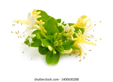 Lonicera japonica, bekannt als japanische Honigsuckle und Golden-Silber-Honeysuckle. Einzeln auf Weiß