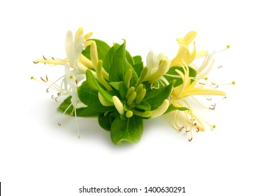 Lonicera japonica, known as Japanese honeysuckle and golden-and-silver honeysuckle. Isolated on white