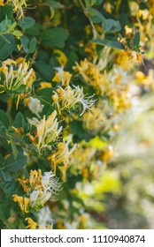 Lonicera japonica Thunb or Japanese honeysuckle yellow and white flower in garden